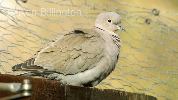 Collared Dove (Streptopelia decaocto) (5)