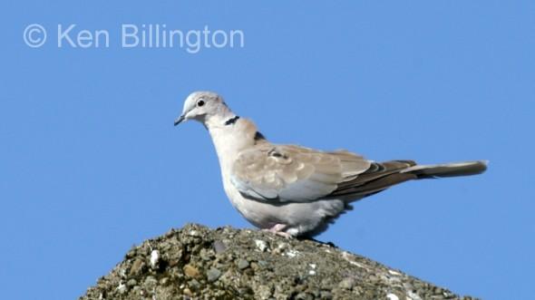Collared Dove (Streptopelia decaocto) (6)