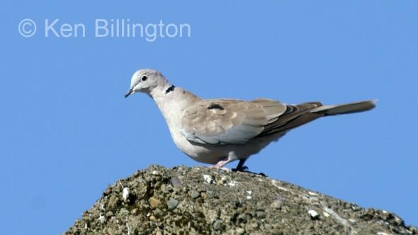 Collared Dove (Streptopelia decaocto) (7)