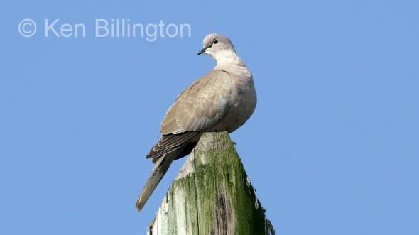Collared Dove (Streptopelia decaocto)