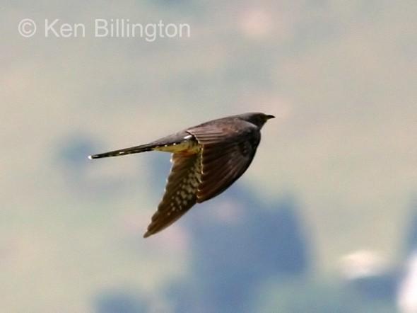 Common Cuckoo (Cuculus canorus) (03)