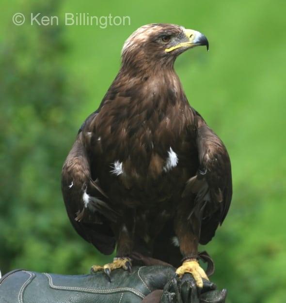 Golden Eagle (Aquila chrysaetos) (2)