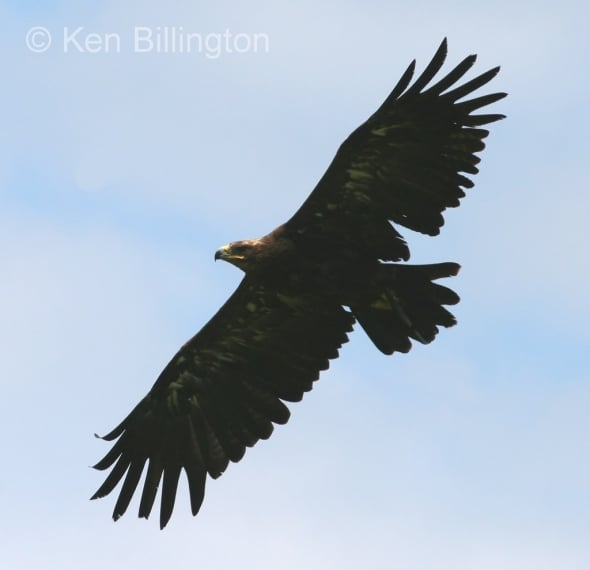 Golden Eagle (Aquila chrysaetos) (3)