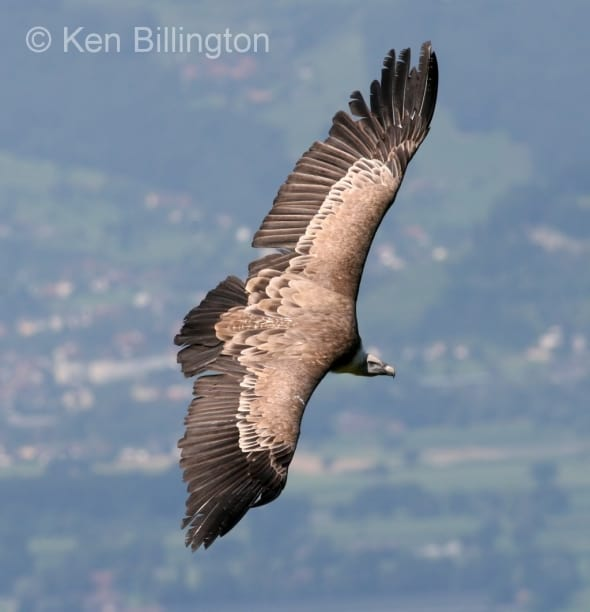 Griffon Vulture (Gyps fulvus) (1)