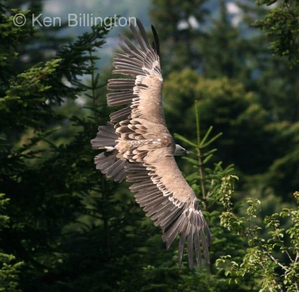 Griffon Vulture (Gyps fulvus) (16)