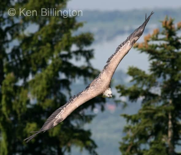 Griffon Vulture (Gyps fulvus) (2)