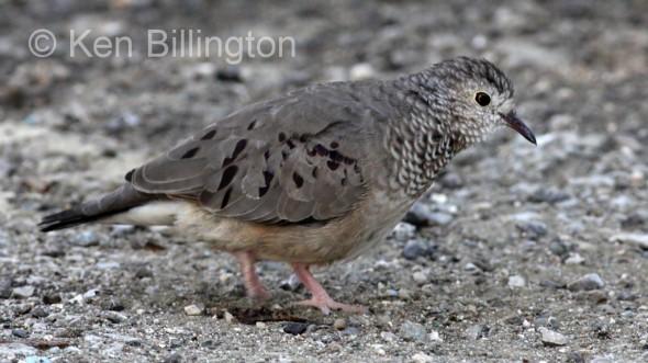 Ground Dove (Columbina passerina)