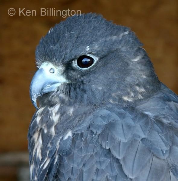 Gyrfalcon (Falco rusticolus) (02)