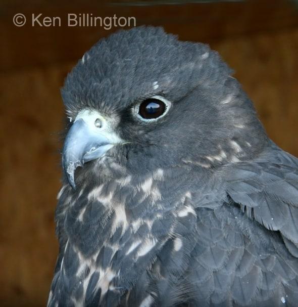 Gyrfalcon (Falco rusticolus) (03)