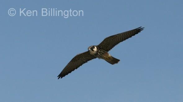 Eurasian Hobby (Falco subbuteo) (1)