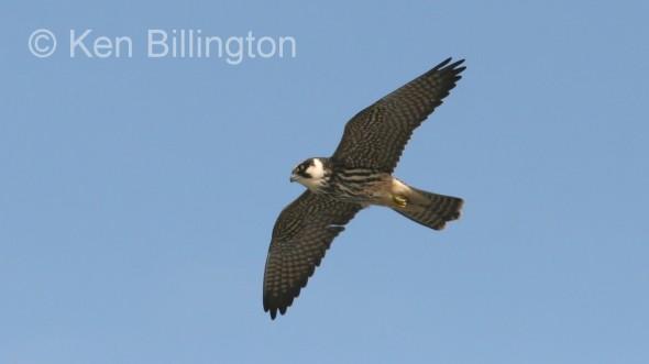 Eurasian Hobby (Falco subbuteo) (4)