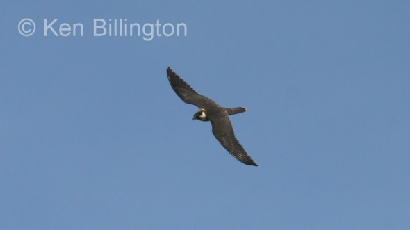 Eurasian Hobby (Falco subbuteo) (6)
