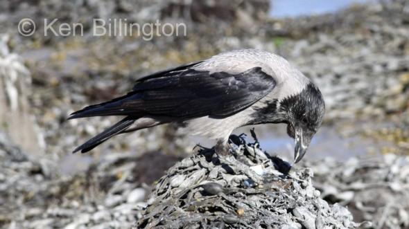 Hooded Crow (Corvus cornix) (12)
