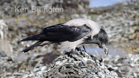 Hooded Crow (Corvus cornix) (13)