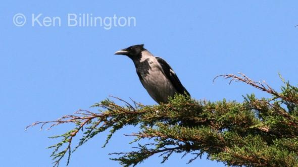 Hooded Crow (Corvus cornix) (4)