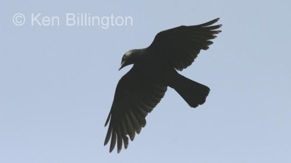 Jackdaw (Corvus monedula) (1)