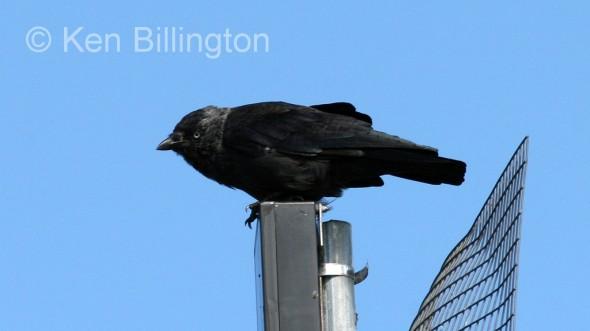 Jackdaw (Corvus monedula) (5)