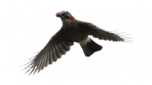 Eurasian Jay (Garrulus glandarius)