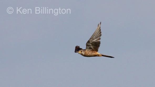 Kestrel (Falco tinnunculus) (15)