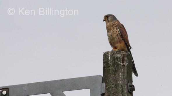 Kestrel (Falco tinnunculus) (20)