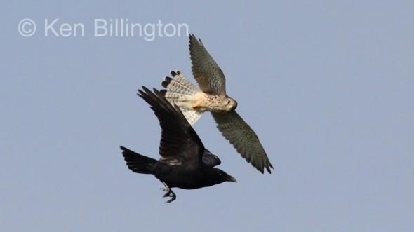 Kestrel (Falco tinnunculus) & Carrion Crow