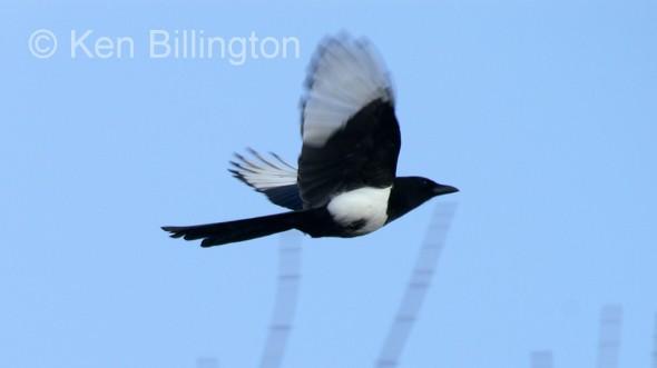 European Magpie (Pica pica) (9)