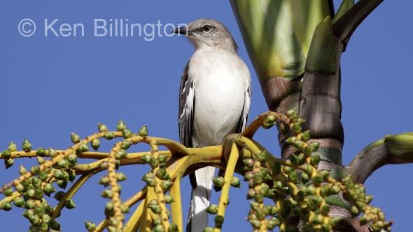 Northern Mockingbird (Mimus polyglottos) (1)