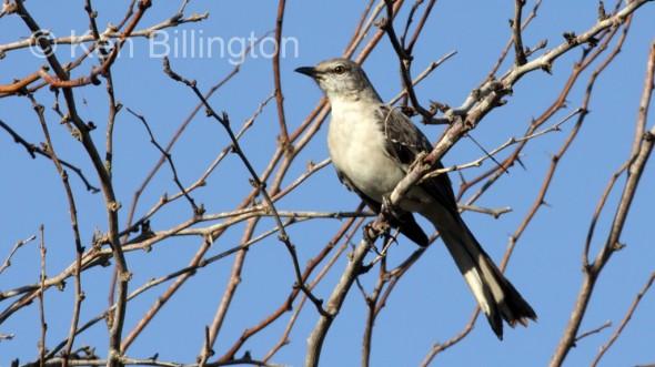Northern Mockingbird (Mimus polyglottos) (10)