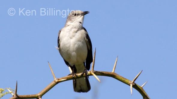 Northern Mockingbird (Mimus polyglottos) (13)
