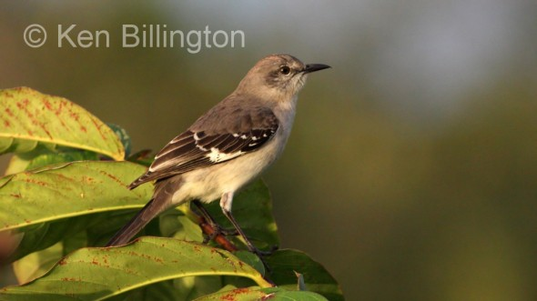 Northern Mockingbird (Mimus polyglottos) (4)