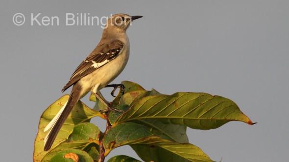Northern Mockingbird (Mimus polyglottos) (8)