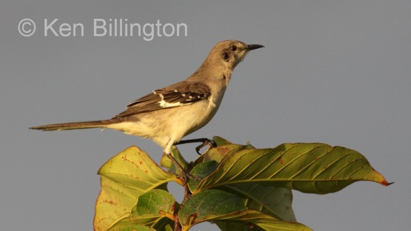 Northern Mockingbird (Mimus polyglottos) (9)