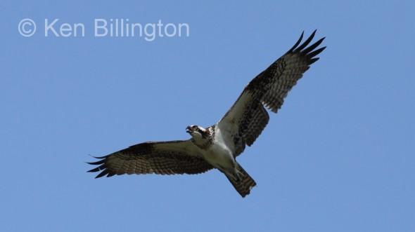 Osprey (Pandion haliaetus) (01)