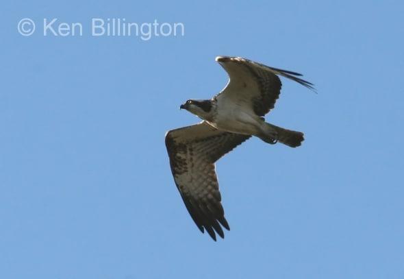 Osprey (Pandion haliaetus) (11)