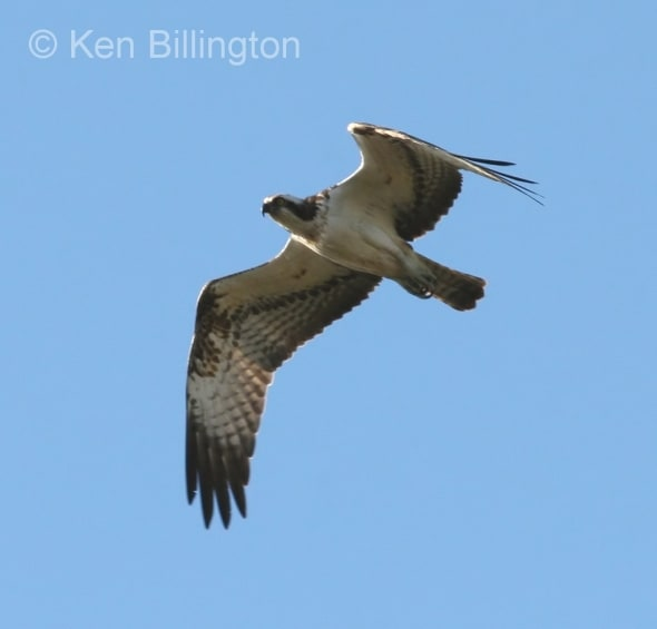 Osprey (Pandion haliaetus) (13)