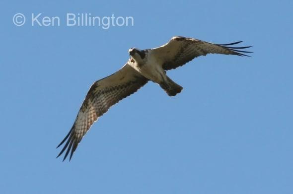 Osprey (Pandion haliaetus) (14)