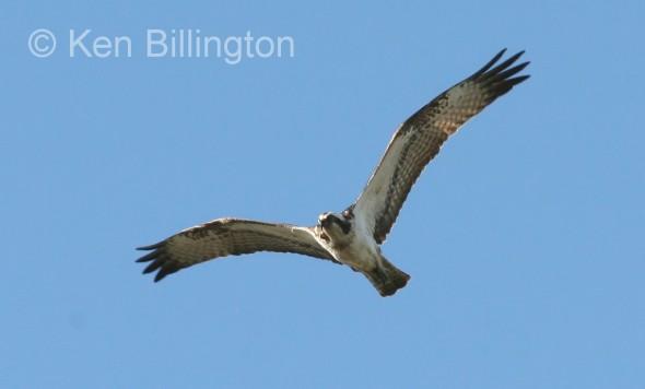 Osprey (Pandion haliaetus) (16)
