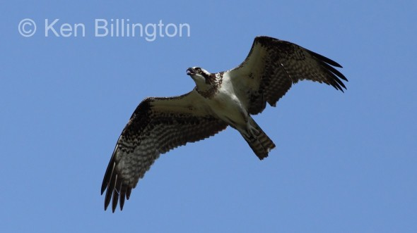 Osprey (Pandion haliaetus) (02)