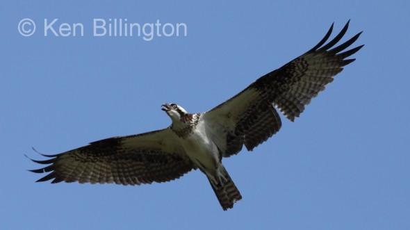 Osprey (Pandion haliaetus) (03)