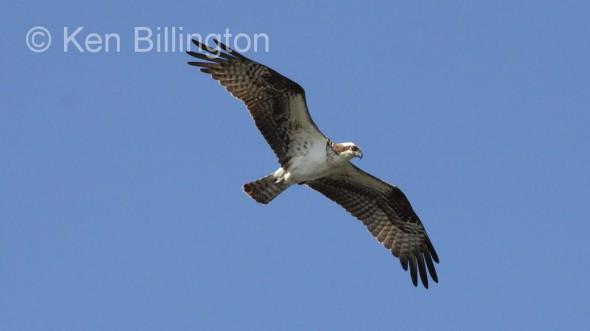 Osprey (Pandion haliaetus) (04)