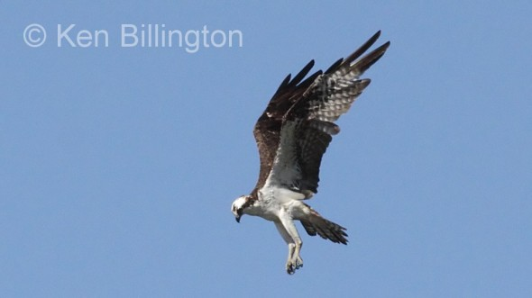 Osprey (Pandion haliaetus) (05)