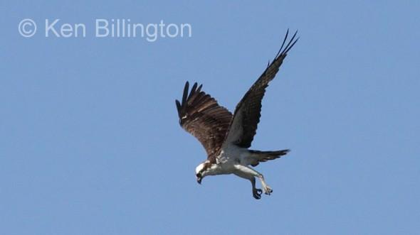 Osprey (Pandion haliaetus) (06)