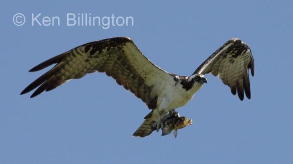 Osprey (Pandion haliaetus) (08)