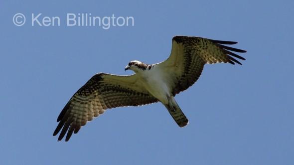 Osprey (Pandion haliaetus) (09)