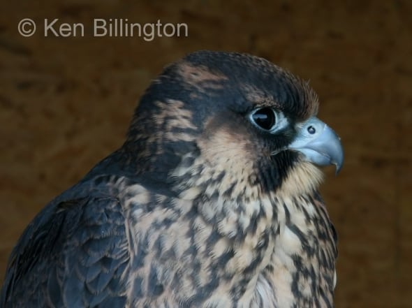 Peregrine Falcon (Falco peregrinus) (1)