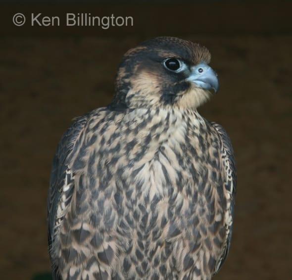 Peregrine Falcon (Falco peregrinus) (14)
