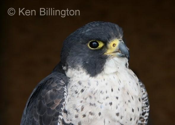 Peregrine Falcon (Falco peregrinus) (2)