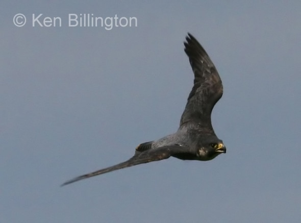 Peregrine Falcon (Falco peregrinus) (9)