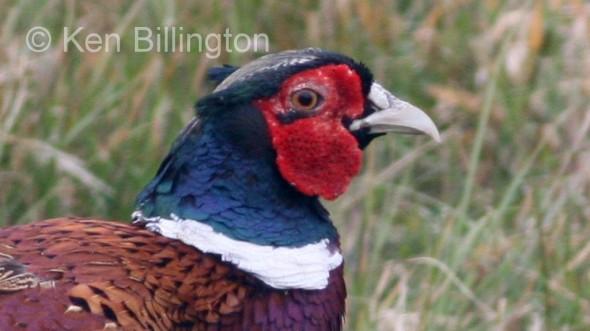 Pheasant (Phasianus colchicus) (3)