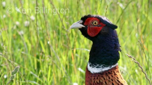 Pheasant (Phasianus colchicus) (5)